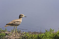 Spotted thick knee or Cape thick knee Stock Photography
