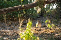 Spotted-thick knee daylight. Spotted thick-kneee (Burhinus capensis) in thick bush during daylight, Botswana Royalty Free Stock Photos