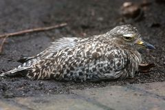 Spotted thick-knee or dikkop bird Stock Photography