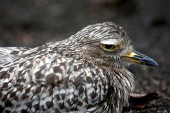 Spotted thick-knee or dikkop bird Royalty Free Stock Photography