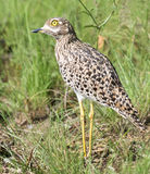 Spotted thick-knee in grass Stock Photos