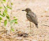 Spotted Thick Knee Stock Images