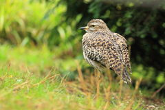 Spotted thick-knee Stock Photos