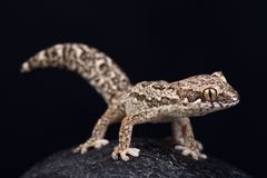 Spotted Thick-toed Gecko Pachydactylus maculatus. The Spotted Thick-toed Gecko Pachydactylus maculatus is a wonderful lizard species found in Southern Africa royalty free stock image