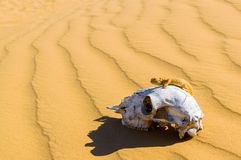 Spotted toad-headed Agama on animal skull in sand desert.  royalty free stock photography