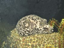 Spotted Toadfish Stock Images
