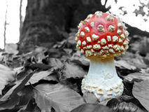 Spotted toadstool / fly agaric  with black & white surroundings Stock Photo