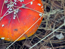 Spotted toadstool in the forest. Stock Images