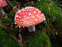 Spotted toadstool in the forest - poisonous mushroom Stock Photo