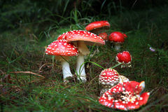 Spotted toadstools Stock Images