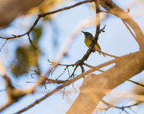 Spotted Tody Flycatcher Stock Image