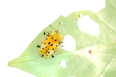 Spotted tortoise beetle Stock Photo