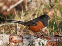 Spotted Towhee. A Spotted Towhee on the edge of a clearing Royalty Free Stock Image