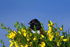 Spotted Towhee Royalty Free Stock Photo