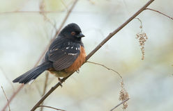 Spotted Towhee Royalty Free Stock Photography