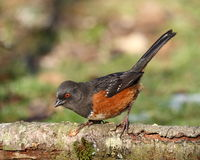 Spotted Towhee. Brightly marked Spotted Towhee perched on log Stock Images