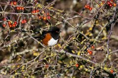 Spotted Towhee Stock Photos