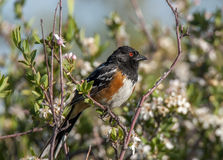Spotted Towhee Royalty Free Stock Photos