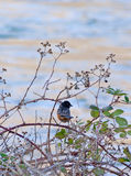 Spotted Towhee Bird In Oregon. A Spotted Towhee (Pipilo maculatus) Bird sitting in the blackberry brambles at the river in Oregon. l stock image