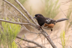 Spotted Towhee caught in the open. Spotted Towhee on a branch in low scrub looking at the camera Stock Photography