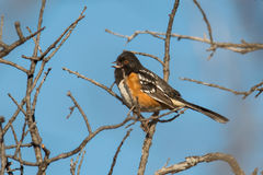 Spotted towhee Stock Images