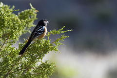 Spotted Towhee, Pipilo maculatus Stock Photo