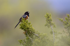 Spotted Towhee, Pipilo maculatus Royalty Free Stock Photography