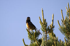 Spotted Towhee, Pipilo maculatus Stock Photos