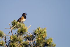 Spotted Towhee, Pipilo maculatus Stock Images