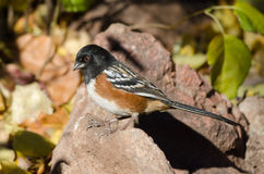 Spotted Towhee Royalty Free Stock Images
