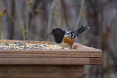 Spotted Towhee (Pipilo maculatus) Royalty Free Stock Photo