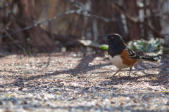 Spotted Towhee (Pipilo maculatus) Standing Royalty Free Stock Image