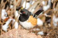 Spotted towhee on rock Stock Photo