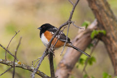 Spotted Towhee Stock Photography