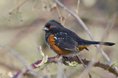 Spotted Towhee. A spotted towhee soaks in some afternoon sun Stock Images