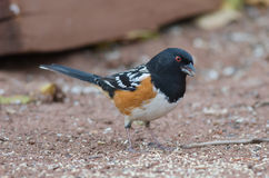 Spotted Towhee. Standing over bird seed in Colorado royalty free stock image