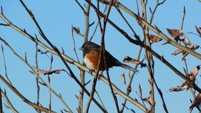 Spotted towhee Stock Image