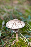 Spotted toxic toadstool in green moss Royalty Free Stock Photos
