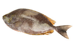 Spotted Trevally, Fish Royalty Free Stock Photography
