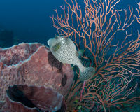 Spotted Trunkfish. Between a Barrel Sponge and Sea Rod on a reef in Palm Beach County Florida Stock Images