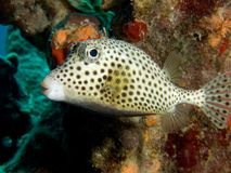 Spotted Trunkfish Royalty Free Stock Photography