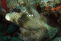 Spotted Trunkfish. Lactophrys bicaudalis picture taken in south east Florida Royalty Free Stock Photo