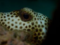 Spotted Trunkfish Royalty Free Stock Photos