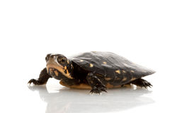 Spotted Turtle. (Clemmys guttata) isolated on white background Stock Photos