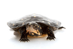 Spotted Turtle Stock Photography