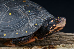 Spotted turtle. The spotted turtle / Clemmys guttata is a small semi-aquatic turtle from Canada and northern U.S.A Royalty Free Stock Image