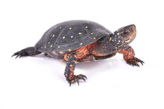 Spotted turtle, Clemmys guttata. The Spotted turtle, Clemmys guttata, is an endangered turtle species found in Canada and the northern United States Royalty Free Stock Photo