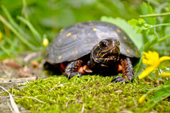 Spotted Turtle. A curious little Spotted Turtle crawling towards a yellow flower Stock Images