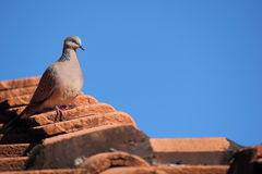 Spotted turtle dove perched on roof Stock Images