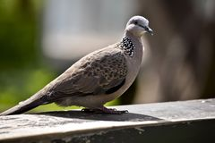 Spotted turtle dove. This is a side view of a spotted turtle dove royalty free stock images